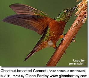 Chestnut breasted Coronet Hummingbird