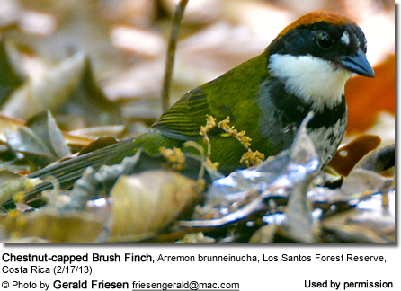 Chestnut-capped Brush Finch, Arremon brunneinucha