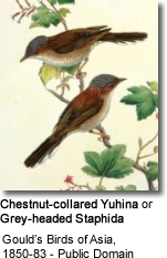 Chestnut-collared Yuhina or Grey-headed Staphida (Staphida torqueola)