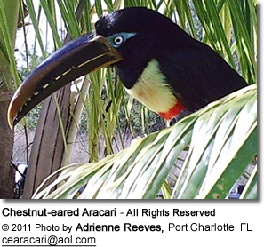 Chestnut-eared Aracari sitting on palm tree