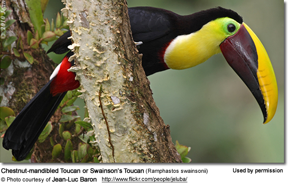 Chestnut-mandibled Toucans or Swainson's Toucans (Ramphastos swainsonii)