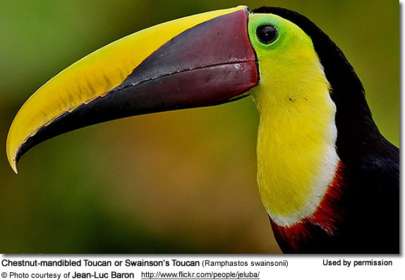Chestnut-mandibled Toucan or Swainson��s Toucan (Ramphastos swainsonii)