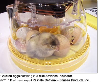 Chicken eggs hatching in a Mini Advance Incubator