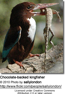 Chocolate-backed Kingfisher (Halcyon badia)