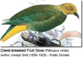 Claret-breasted Fruit Dove (Ptilinopus viridis)