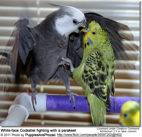 White-face Cockatiel and Budgie Fighting
