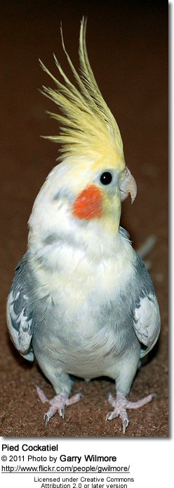 Pet Cockatiel