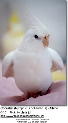 White / Albino Cockatiel