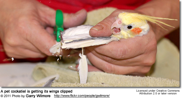 Cockatiel receiving a wing clip
