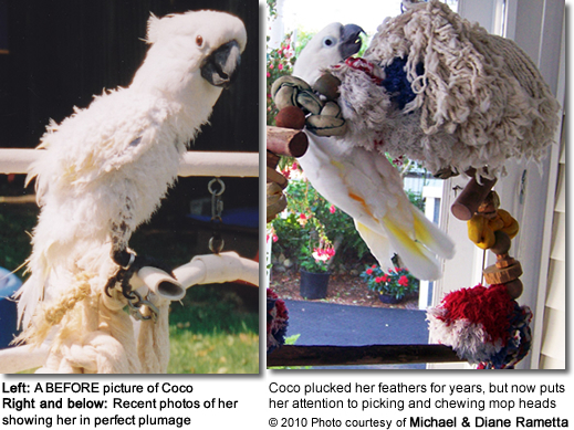 Coco plucked her feathers for years but now just chews on mop heads