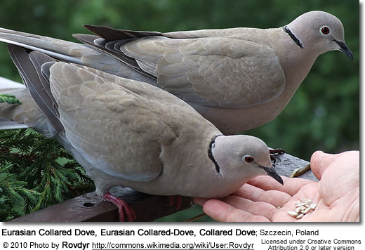 Eurasian Collared Dove, Eurasian Collared-Dove, Collared Dove; Szczecin, Poland