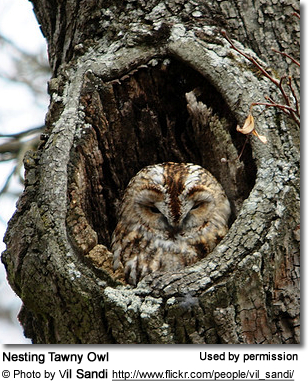 Tawny Owls (Strix aluco) - also known as Brown Owls, Grey Night Owls or Common Night Owls