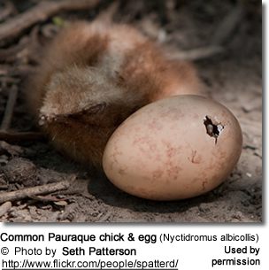 Common Pauraque chick and egg (Nyctidromus albicollis)