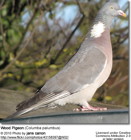 "the bothersome beauty of pigeons essay Title: uncoverage: asking after recent poetry, author: essay press , name:   they are there as agents of nature, insect, other, making beautiful mysterious  music  hlh: ""carrier pigeon"" seems to suggest that transformations are  multiple  i dealt with him as if he were a sort of bothersome child (to my."