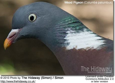 Wood Pigeon (Columba palumbus) - Head Detail