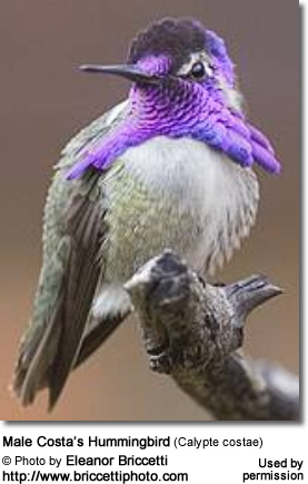 Male Costa's Hummingbird (Calypte costae)