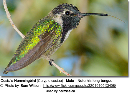 Costa's Hummingbird (Calypte costae) - Male - Note his long tongue