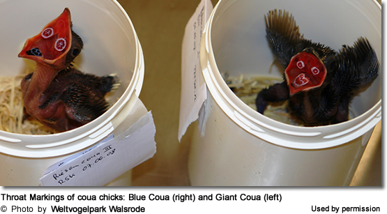 Throat Markings of coua chicks: Blue Coua (right) and Giant Coua (left)