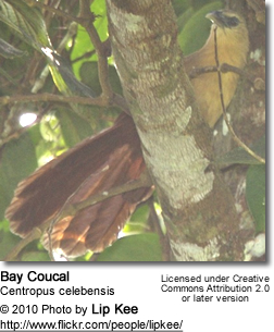 Bay Coucal