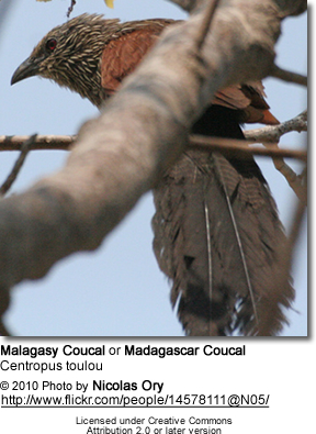 Malagasy Coucal or Madagascar Coucal (Centropus toulou)