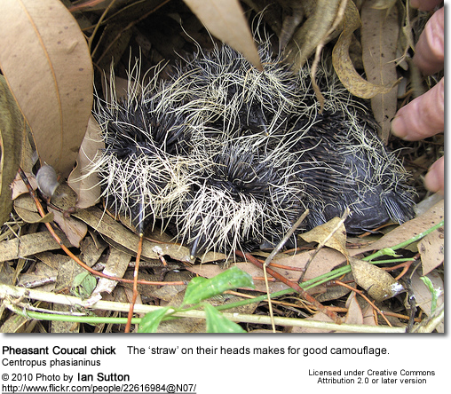 Pheasant Coucal chick Centropus phasianinus - the