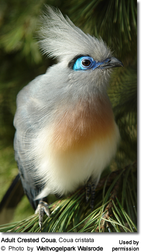 Crested Couas (Coua cristata) - Adult