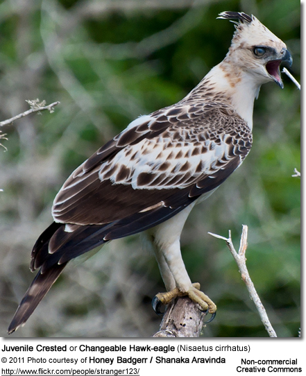 Juvenile Crested or Changeable Hawk-eagle (Nisaetus cirrhatus)