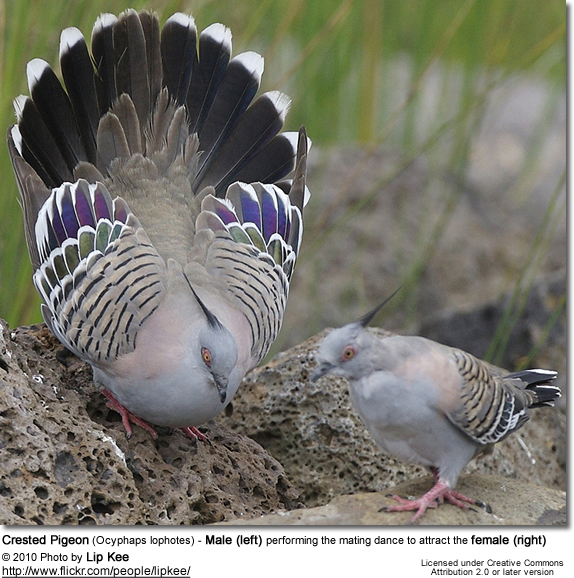 Crested Pigeon (Ocyphaps lophotes) - Male (left) performing the mating dance to attract the female (right)