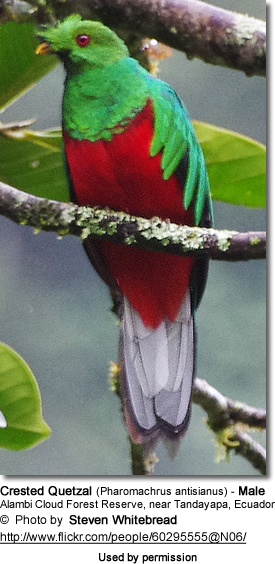 Crested Quetzal (Pharomachrus antisianus) - Male