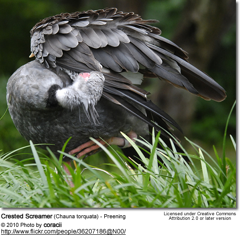 Crested Screamer (Chauna torquata) - Preening