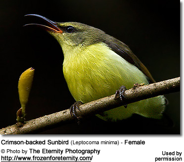 Crimson-backed Sunbird (Leptocoma minima) - Female