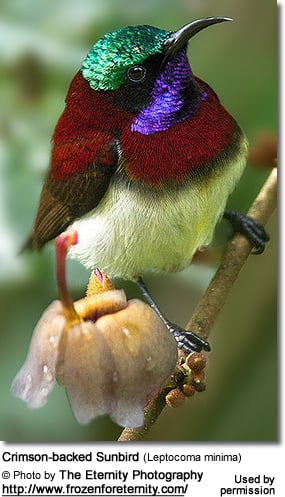 Crimson-backed Sunbird (Leptocoma minima)