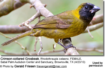 Crimson-collared Grosbeak, Rhodothraupis celaeno, FEMALE