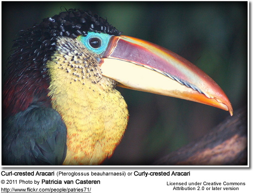Curl-crested Aracari (Pteroglossus beauharnaesii) or Curly-crested Aracari