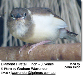 Diamond Firetail Finch - Juvenile