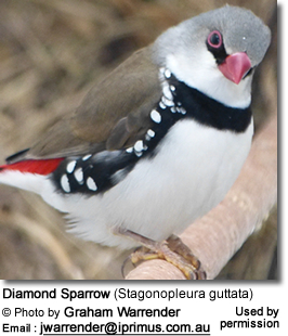 Diamond Sparrow (Stagonopleura guttata)
