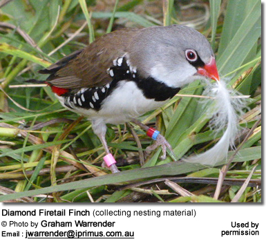 Diamond Firetail Finch (collecting nesting material)