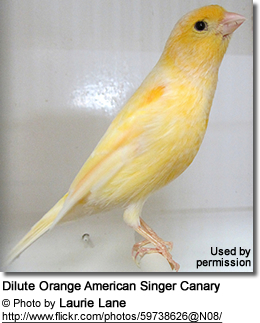Dilute Orange American Singer Canary