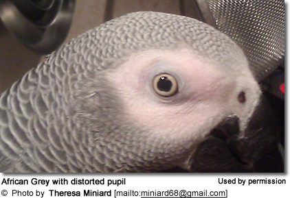 African Grey with distorted pupil