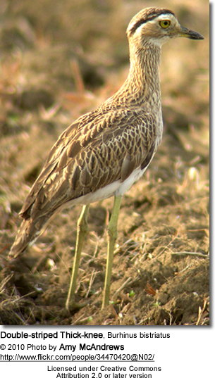 Double-striped Thick-knee, Burhinus bistriatus