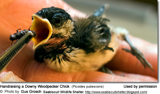 Handraising a Downy Woodpecker Chick (Picoides pubescens)