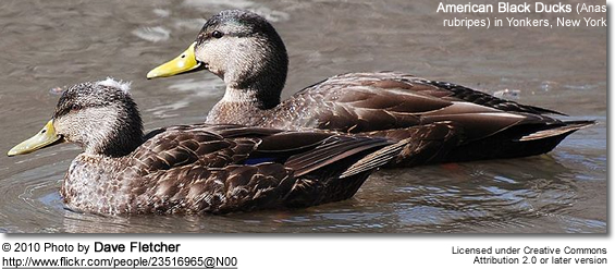 American Black Ducks (Anas rubripes)