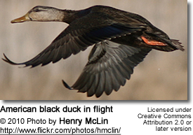 American black duck in flight