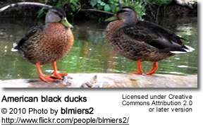 BlackDucks
