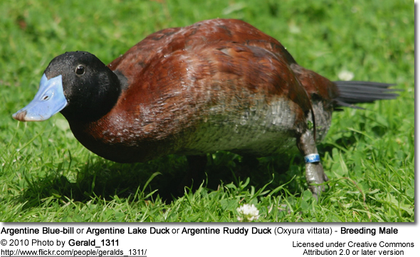Argentine Blue-bill or Argentine Lake Duck or Argentine Ruddy duck (Oxyura vittata)