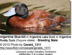 Male Argentine Blue-bill Duck