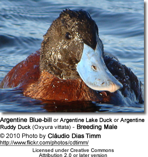 Argentine Blue Bill Duck Penis 107