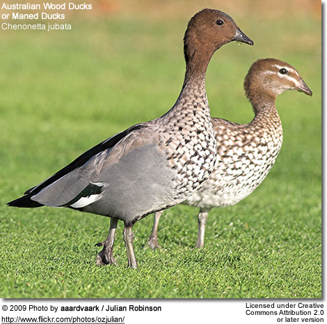 Australian Wood Duck or Maned Duck, Chenonetta jubata