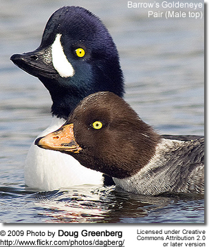 Barrow's Goldeneye Pair (male top)