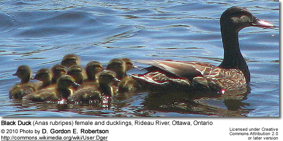 Black Duck (Anas rubripes) female and ducklings, Rideau River, Ottawa, Ontario